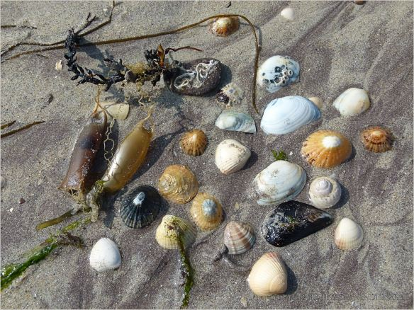 Assorted seashells and mermaid's purses wahed ashore on a sandy beach