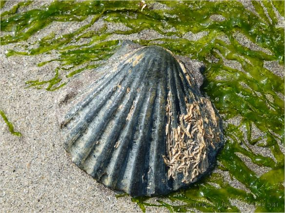 Black scallop shell with gutweed on wet sand
