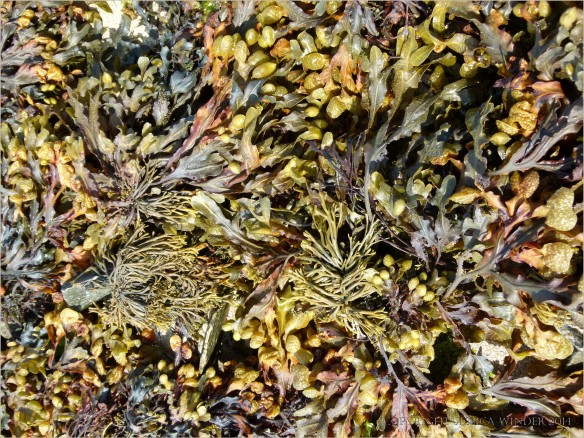 Close-up of fucoid seaweeds on the seashore