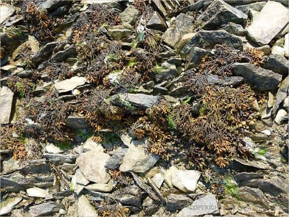 seaweeds and Silurian rocks on the beach