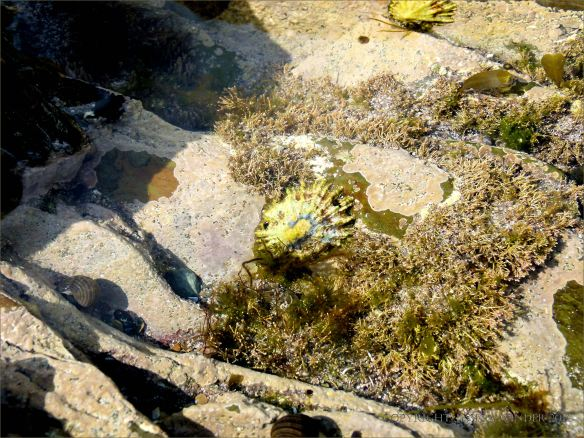 Rock pool with calcareous encrusting and foliose algae