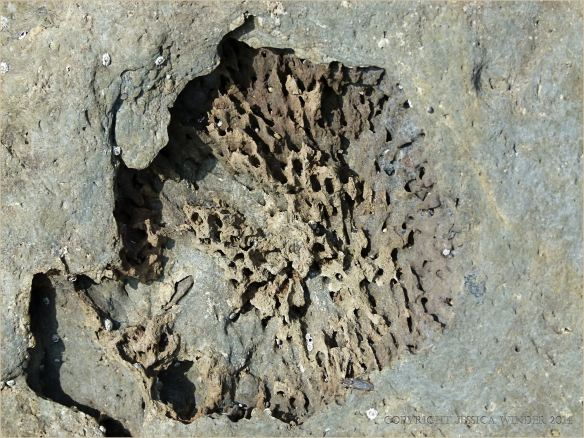 Fossil coral in Silurian rock at Ferriters Cove