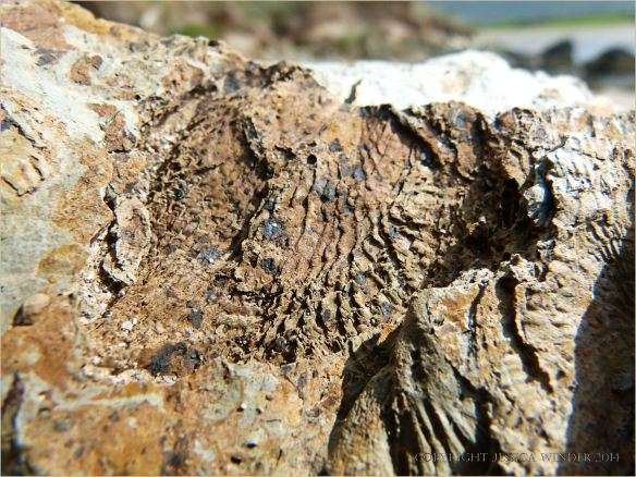 Fossil brachiopod Leptaena in Silurian rock at Ferriters Cove
