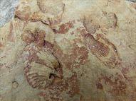 Fossil in Silurian rock at Ferriters Cove