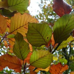 Transitional autumn colours in beech leaves before falling from the tree