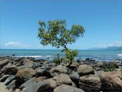 Tree growing on waterside boulders at Four Mile Beach in Port Douglas, Queensland.
