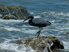 Reef Heron on rock at Four Mile Beach at Port Douglas in Queensland