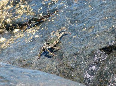 Tropical Rock Crab at Four Mile Beach in Port Douglas, Queensland.