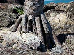 Roots of a stunted palm growing on seaside rock