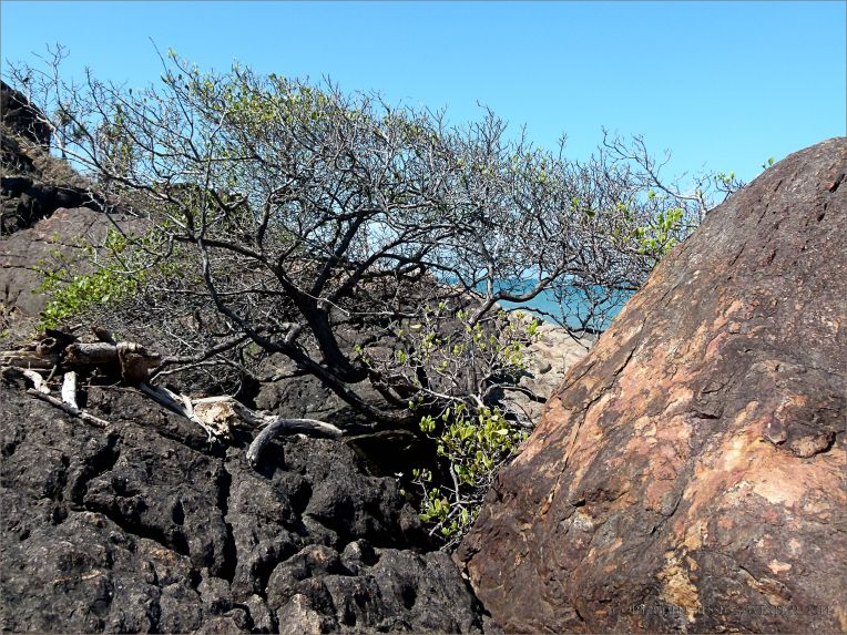 Tree clinging to life on bedrock in the outcrop with the Lookout at Four Mile Beach in Port Douglas