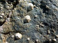 Limpets and barnacles on what looks like granite on an outcrop near Four Mile Beach in Port Douglas