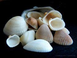 White seashells on a black background