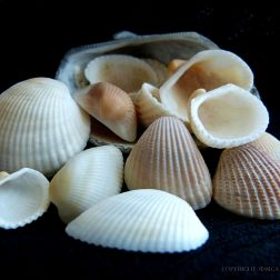 White seashells on a black background