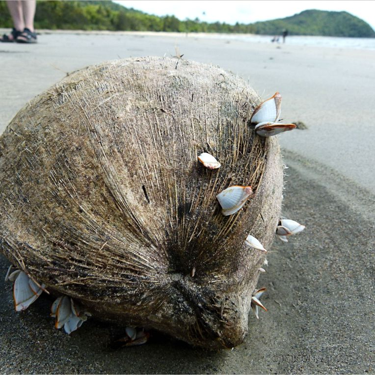 Flotsam coconut with attached goose barnacles at Cape Tribulation