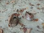 Empty coconuts with holes made by the White-tailed Rat at Cape Tribulation