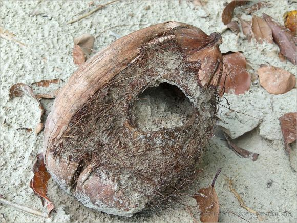 Empty coconut with hole made by the White-tailed Rat at Cape Tribulation
