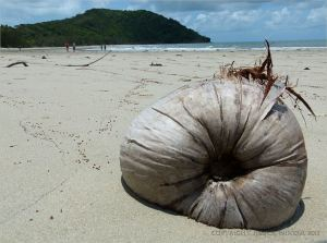 Coconut on the tropical beach at Cape Tribulation