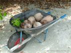 Wheel barrow of coconuts at Cape Tribulation Beach