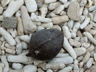 Beach Almond with dry blackened skin on Normanby Island