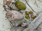 Coconuts at various stages of development where they fell to the beach at Port Douglas.