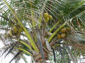 Coconuts on the tree at Port Douglas, Four Mile Beach.