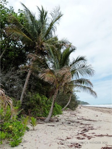 Coconut palms at Four Mile Beach in Port Douglas