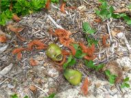 Fresh coconuts and shredded fibrous husk on Four Mile Beach
