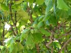 Beach Almond tree with clusters of fruit at Port Douglas