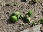 Green Beach Almond fruits lying on the ground beneath the tree, half eaten by black parrots