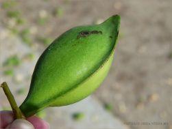 Fresh green Beach Almond fruit