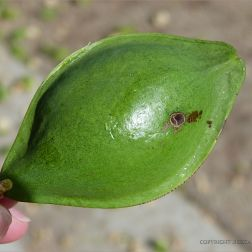 Fresh green Beach Almond fruit