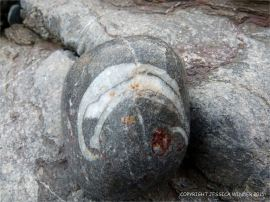 Wet pebble with detail of brachiopod fossil in Carboniferous Limestone at Pwll Du Bay
