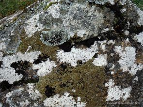 Lichens growing on granite outcrops at the coast