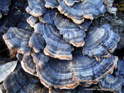 Blue striped bracket fungi on a tree stump