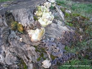 Large and small species of trametes bracket fungi on a beech tree stump