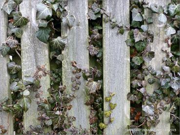 Ivy growing on a fence in February