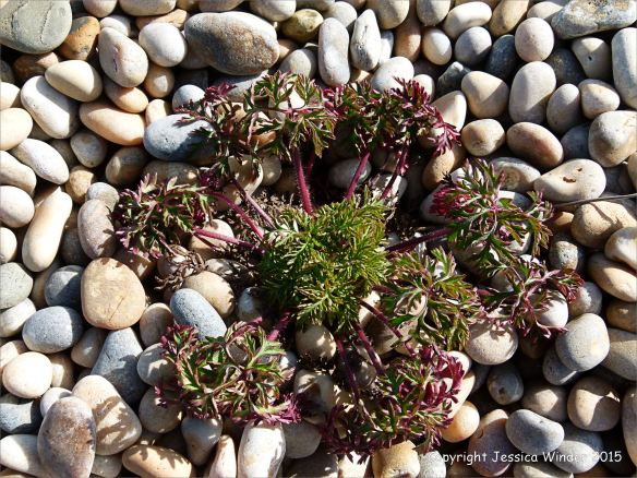 Plant growing on pebbles at Chesil Beach