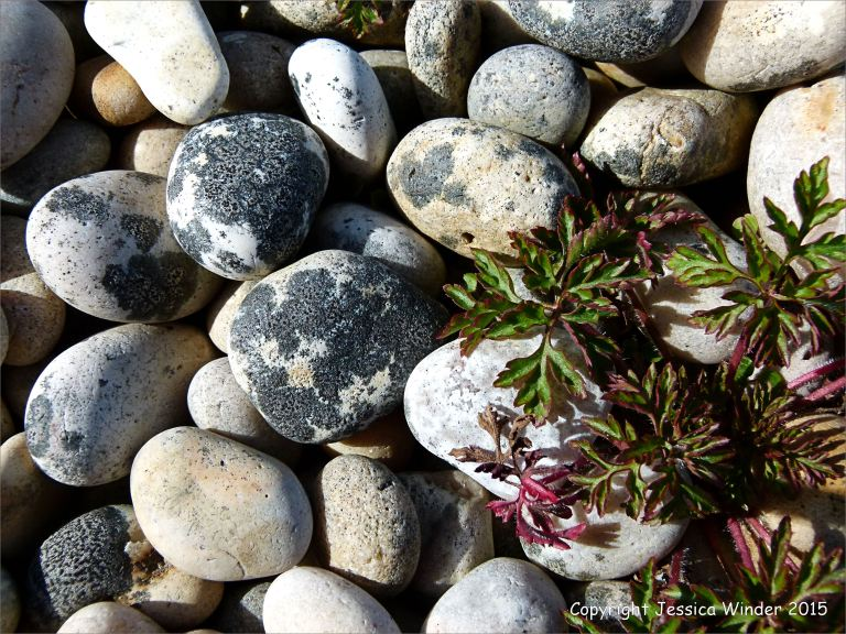 Pebbles with patches of black lichen on the Chesil Bank in Dorset