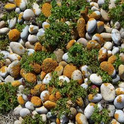 Plants and bright orange lichen growing on beach pebbles