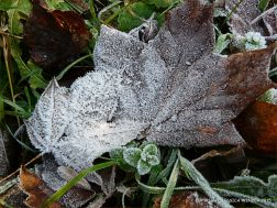 Ice crystals on frosty leaves on a winter's morning