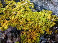 Lichens growing on granite at the coast