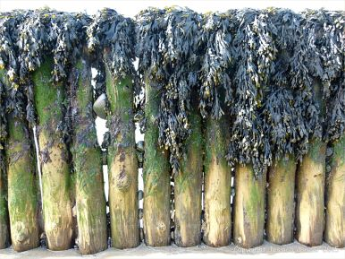 Old wooden posts of a beach groyne festooned with seaweed