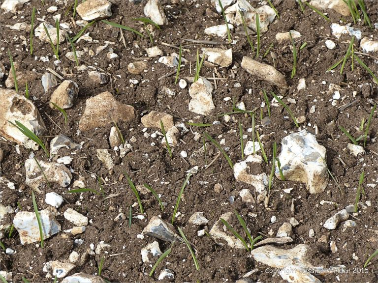 Green shoots sprouting among flint filled fields on Charlton Down