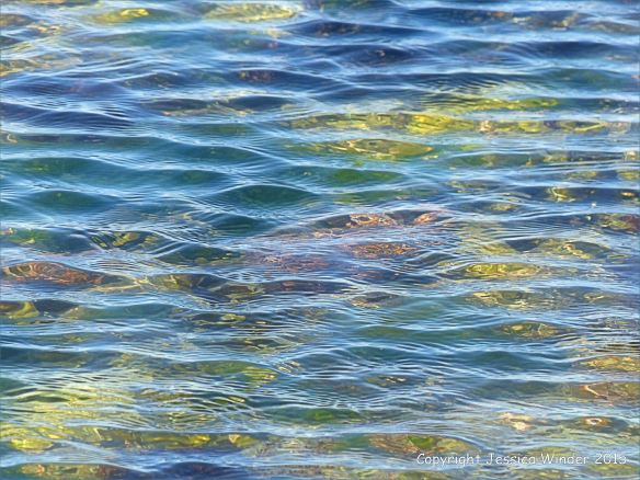 The distorting lens of rippled water in a seaweed-filled rock pool