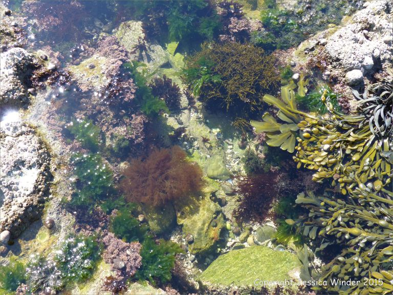 Common British seaweeds in a rock pool