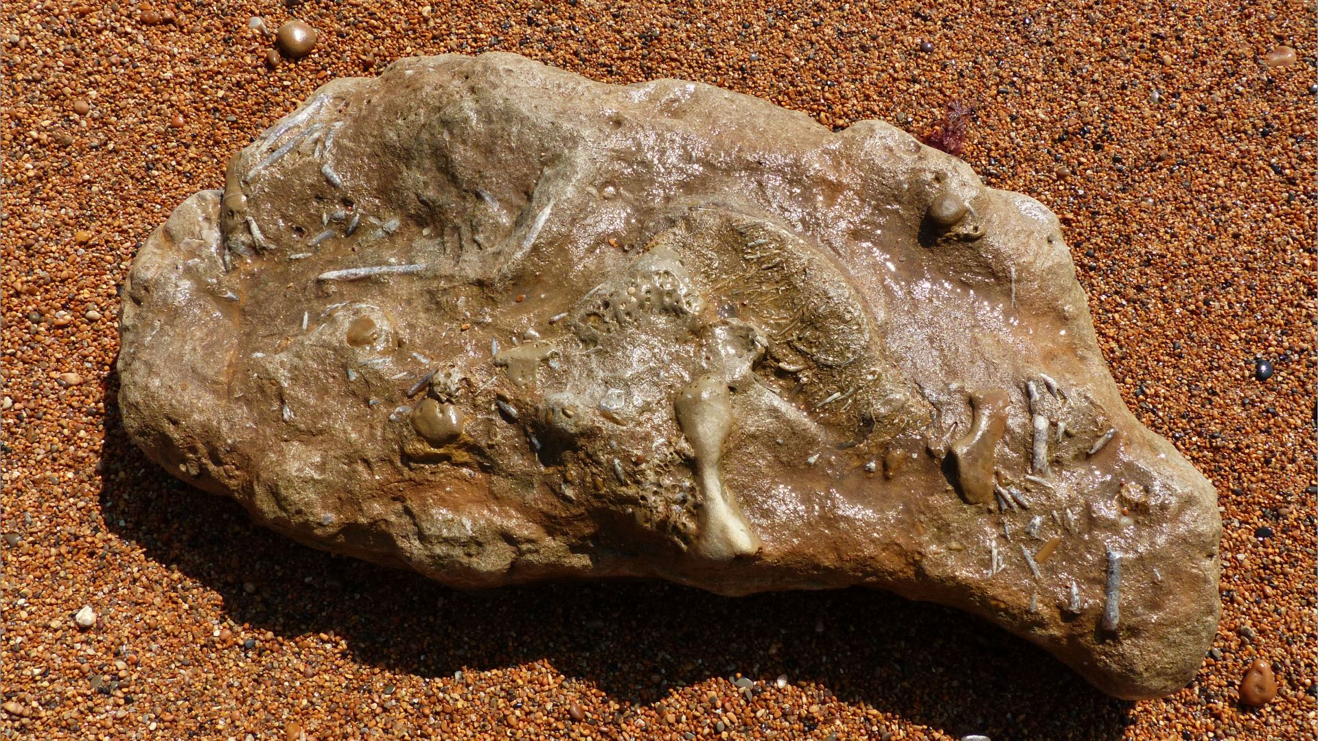 Beach boulder with fossils in wet shingle on the beach