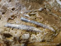 Detail of fossil belemnites in a beach boulder