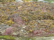 Yellow and green seaweed on red rocks