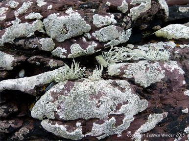 Devonian sandstone rocks on the seashore with lichens