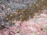 Red sandstone with black lichen and fucoid seaweeds on the seashore